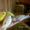 Птенцы волнистого попугайчика #457115