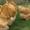 Продажа породистых кур и уток , индюшки, индоутята,  цыплята #281394