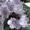Фиалки узумбарские цветущие #635624
