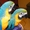 Пара рук подняли сине-золотой попугаи ара  #763201