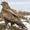 Ястреб канюк - птенцы пуховики  #1092377