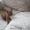 котята сибирской рыси #1247342