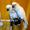 Белохохлый какаду  (Cacatua alba)  - ручные птенцы из европейских питомников #1305499