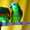 Синелобый амазон (Amazona aestiva aestiva) - ручные птенцы из питомников Европы #1510789