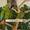 Солдатский ара (Ara militaris) - ручные птенцы из питомников Европы - Изображение #2, Объявление #1683827