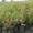 Саженцы голубики садовой из собственного питомника #1579068