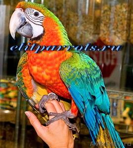 Гибриды попугаев ара   - птенцы выкормыши из питомников Европы - Изображение #2, Объявление #1126633