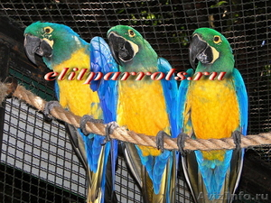Гибриды попугаев ара   - птенцы выкормыши из питомников Европы - Изображение #3, Объявление #1126633