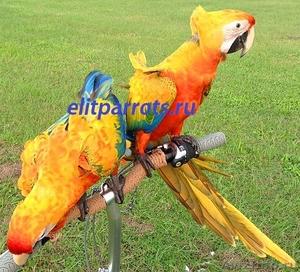Гибриды попугаев ара   - птенцы выкормыши из питомников Европы - Изображение #1, Объявление #1126633
