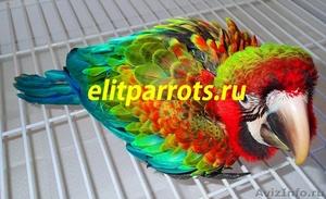 Гибриды попугаев ара   - птенцы выкормыши из питомников Европы - Изображение #4, Объявление #1126633