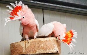 Какаду инка (Cacatua leadbeateri) - ручные птенцы из питомников Европы... - Изображение #1, Объявление #1144352