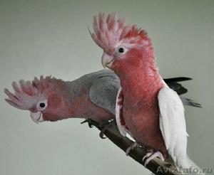 Розовый какаду (Eolophus roseicapilla) - ручные птенцы из питомников Европы. - Изображение #1, Объявление #1602261