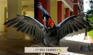Пальмовый какаду (Probosciger aterrimus) - ручные птенцы из питомников - Изображение #1, Объявление #644540