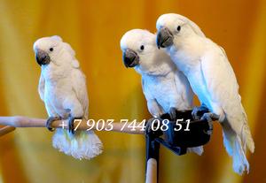 Белохохлый какаду  (Cacatua alba)  - ручные птенцы из европейских питомников - Изображение #1, Объявление #1305499