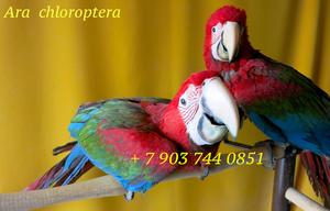 Зеленокрылый ара (Ara chloroptera)  ручные птенцы из питомника - Изображение #1, Объявление #1336259