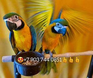 Сине желтый ара (ara ararauna) - ручные птенцы из питомников Европы - Изображение #1, Объявление #644545