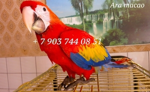 Красный ара (ara macao) - ручные птенцы из питомников Европы - Изображение #1, Объявление #661451