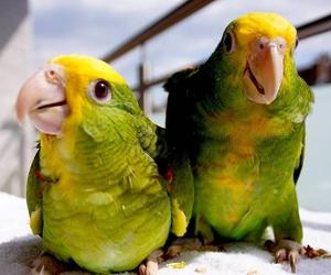 Желтоголовый амазон (Amazona oratrix) ручные птенцы из питомников - Изображение #2, Объявление #930269