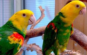 Желтоголовый амазон (Amazona oratrix) ручные птенцы из питомников - Изображение #1, Объявление #930269