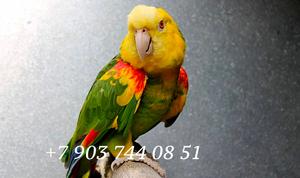 Желтоголовый амазон (Amazona oratrix) ручные птенцы из питомников - Изображение #4, Объявление #930269