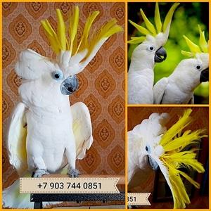 Желтохохлый какаду  (cacatua galerita) - ручные птенцы из питомников  - Изображение #1, Объявление #748984