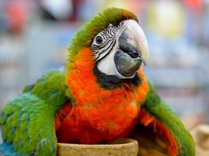 Каталина гибрид попугаев ара - ручные птенцы - Изображение #1, Объявление #1690153