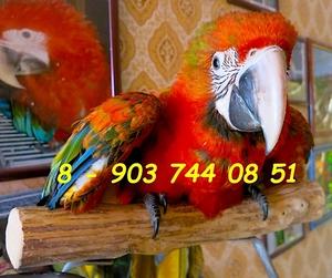 Тропикана - гибрид попугаев ара - ручные птенцы из питомников Европы - Изображение #1, Объявление #1689408