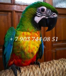 Ара милиголд - ручные птенцы из питомника - Изображение #1, Объявление #1691532