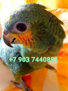 Венесуэльский амазон (Amazona amazonica) ручные птенцы из питомника - Изображение #1, Объявление #1696757