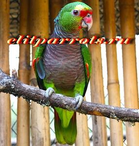 Винногрудый амазон (Amazona vinacea) - ручные птенцы из питомника - Изображение #2, Объявление #1696280