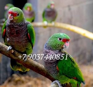 Винногрудый амазон (Amazona vinacea) - ручные птенцы из питомника - Изображение #1, Объявление #1696280