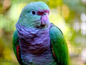Винногрудый амазон (Amazona vinacea) - ручные птенцы из питомника - Изображение #3, Объявление #1696280