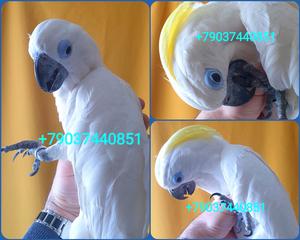 Синеочковый какаду (Cacatua ophthalmica) - ручные птенцы из питомника - Изображение #1, Объявление #1699785
