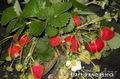 Крупноплодные сорта клубники в Беларуси