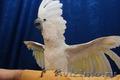 Какаду белохохлый или какаду Альба – ручные птенцы