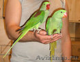 Александрийский попугай ручные птенцы (выкормыши) нашего разведения