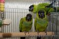 Аратинга – полностью ручные птенцы- выкормыши