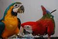 Ара – разные виды – ручные птенцы, выкормыши, Объявление #99387