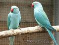 Ожереловый попугай - птенцы разного цвета