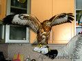 Хищные птицы: ястреб, сокол сова и др. - Изображение #2, Объявление #99396