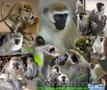 Приматы различные виды: игрунка, лори, капуцын, макака, зеленая мартышка , тамар - Изображение #2, Объявление #99394