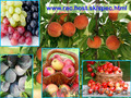 крупным оптом крымские фрукты: Черешня,  Персик,  Слива,  Виноград,  Яблоки