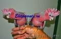 Попугаи -абсолютно ручные птенцы изх питомников