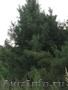 Озеленение и ландшафт-Лучшие цены-ТУЯ-живая изгородь, КЕДР, СОСНА