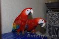 Ара макао  (трехцветный ara Macao Macao) редкий вид – птенцы
