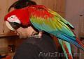 Ара сине-желтый (араруна) – ручные птенцы