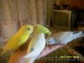 Птенцы волнистого попугайчика