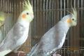 Попугай корелла разных окрасок