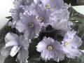 Фиалки узумбарские цветущие