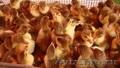 Продажа породистых кур и уток